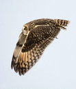 Short Eared Owl Stock Photos