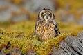 Short-eared Owl, Asio flammeus sanfordi, rare endemic bird from Sea Lion Island, Fakland Islands, Owl in the nature habitat. Bird Royalty Free Stock Photo