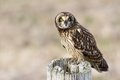 Short eared owl at boundary bay delta bc canada Royalty Free Stock Photo