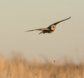 Short eared owl in flight over a meadow in winter Royalty Free Stock Photo