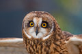 Short eared owl at ojai raptor rehabilitation center in california Stock Images