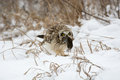 Short eared owl perched in snow feeding on mouse following winter storm Royalty Free Stock Photo