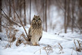 Short eared owl perched in snow following winter storm Royalty Free Stock Image