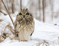 Short eared owl perched in snow following winter storm Stock Photography