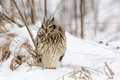 Short eared owl perched in snow following winter storm Stock Images