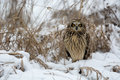 Short eared owl perched in snow following winter storm Royalty Free Stock Photos