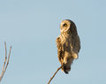 Short eared owl perched in a tree in an open meadow in winter Stock Photography