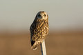 Short eared owl perchedon a post in an open meadow in winter Royalty Free Stock Photos