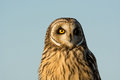Short eared owl portrait image of taken in an open meadow in winter Stock Photography