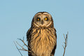 Short eared owl portrait image of taken in an open meadow in winter Royalty Free Stock Image