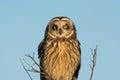 Short eared owl portrait image of taken in an open meadow in winter Royalty Free Stock Image