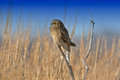 Short eared owl sitting on a branch Royalty Free Stock Photography