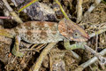 Short-horned chameleon, marozevo Stock Images