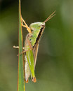 Short horned grasshopper resting on a leaf Royalty Free Stock Photo
