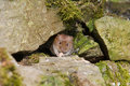 Short-Tailed Vole (Microtus agrestis) Royalty Free Stock Photos