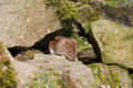 Short-Tailed Vole (Microtus agrestis) Stock Photos
