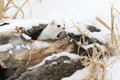 Short tailed weasel in winter a looking out of hole log Stock Photos