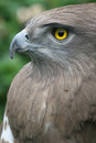 Short toed Eagle Stock Image