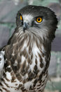 Short toed eagle a portrait Royalty Free Stock Photos