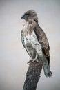 Short-toed snake eagle (circaetus gallicus) Royalty Free Stock Photo