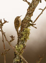 Short toed treecreeper on branch an agile certhia brachydactyla climbs a covered with mosses and lichen Royalty Free Stock Photography