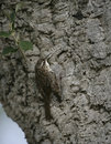 Short toed treecreeper certhia brachydactyla on a tree spring spain Stock Images