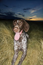 Shorthaired Pointer panting. Royalty Free Stock Photos
