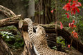 Shot of Persian leopard Royalty Free Stock Photo