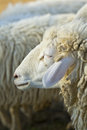 Shot of sheep Royalty Free Stock Images