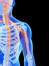 Shoulder nerves d rendered illustration Stock Image