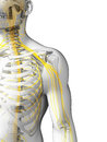 Shoulder nerves d rendered illustration Stock Photo