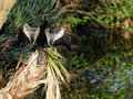 Shout it out loud male anhinga with wings and beak open wide Royalty Free Stock Photos