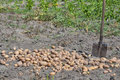 Shovel and potato crop in the garden Royalty Free Stock Photo