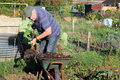 Shovelling manure from a wheelbarrow an elderly man onto his garden to enrich the soil for growing crops the next year Royalty Free Stock Photography