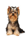 Show class puppy of the yorkshire terrier over white Royalty Free Stock Photos