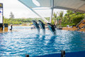 Show of killer whales in the Loro Parque, which is now Tenerife`s second largest attraction with europe`s biggest pool in Tenerife