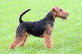 Show position Welsh Terrier dog Royalty Free Stock Photo