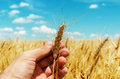Showing of new rip harvest in hand golden field under blue sky Royalty Free Stock Photos