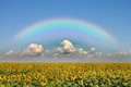 Shows a field of sunflowers in the rays of the rainbow Royalty Free Stock Photo