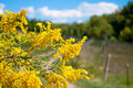 Showy Goldenrod Royalty Free Stock Photo