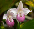 Showy lady s slipper cypripedium reginae in forest glade Royalty Free Stock Image