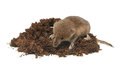 Shrew mouse over dirt isolated on white background Stock Photos