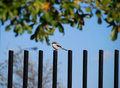 Shrike bird on fence post Royalty Free Stock Photos
