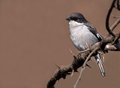 Shrike on thorn branch Stock Image