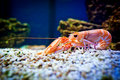 Shrimp in aquarium Royalty Free Stock Photo
