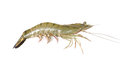 Shrimp isolated on white background Stock Images