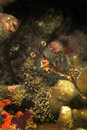 Shrimp mabul island sabah sealife Stock Images