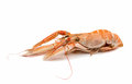 Shrimp with pincers isolated on white background Stock Photography