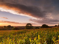 Shropshire corn field in golden sunset Royalty Free Stock Photo