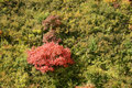 Shrub in autumn Royalty Free Stock Images